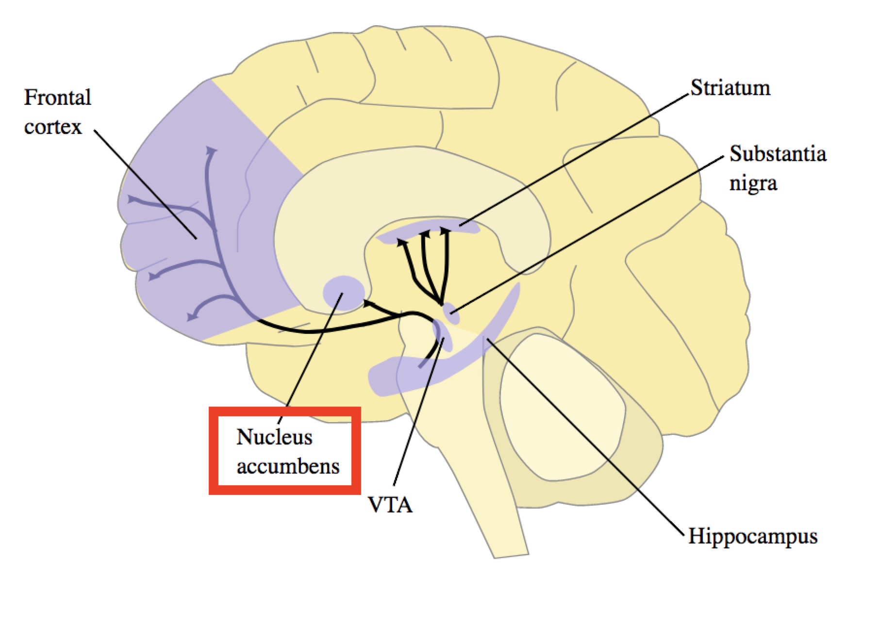 Image of the brain with the nucleus accumbens highlighted